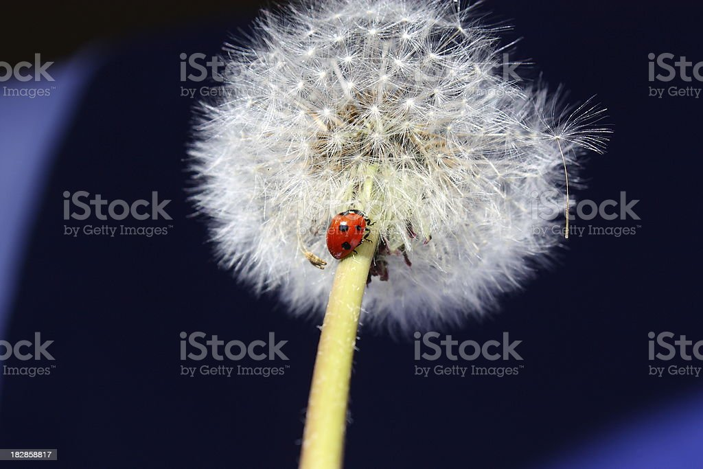 Ladybug on Dandelion stock photo