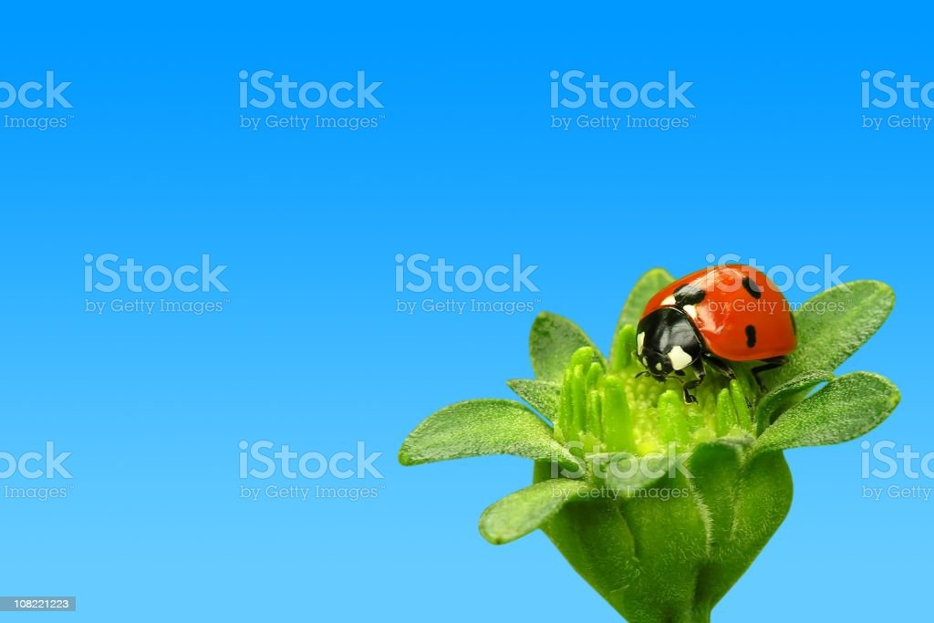 Ladybug on Flower royalty-free stock photo