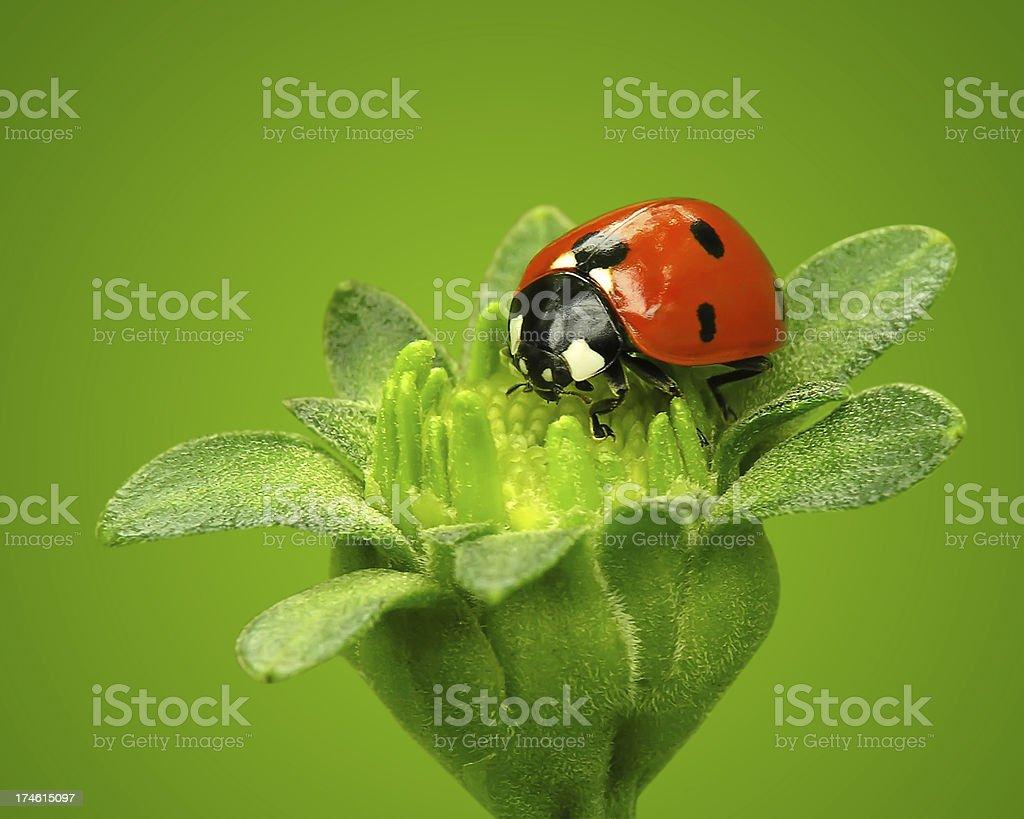 Ladybug on flower royalty-free stock photo