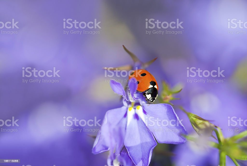 Ladybug on garden lobelia, beautiful summer photo royalty-free stock photo