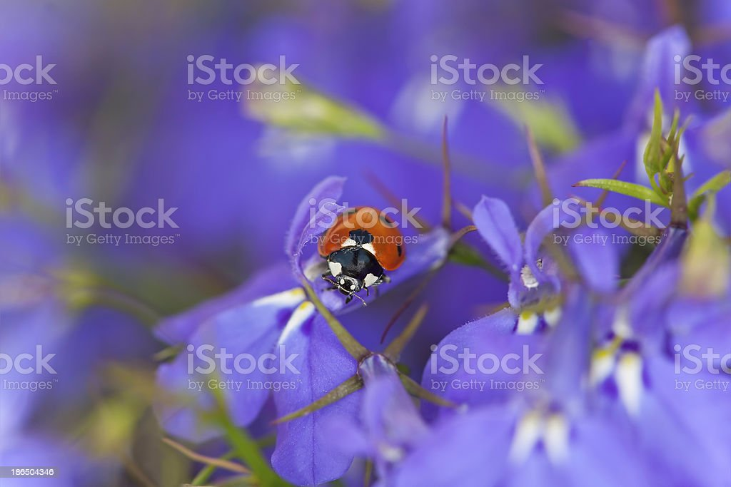 Ladybug on garden lobelia, beautiful summer photo stock photo