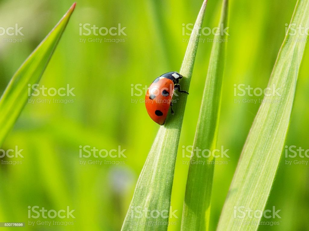 Ladybug on grass blade stock photo
