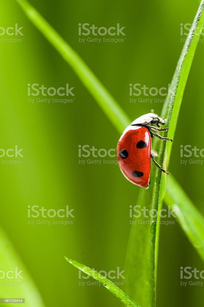 Ladybug on Grass Over Green Bachground stock photo