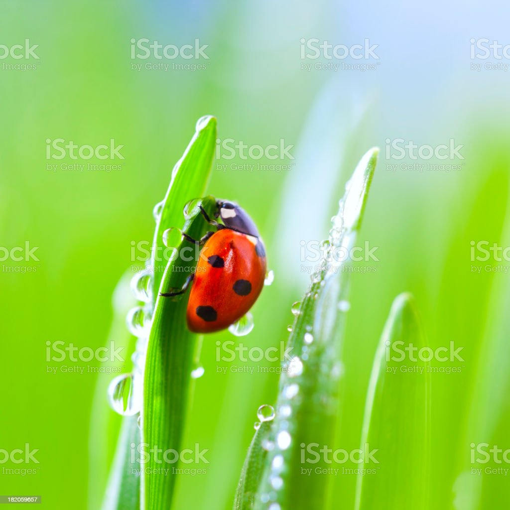 Ladybug on grass stock photo