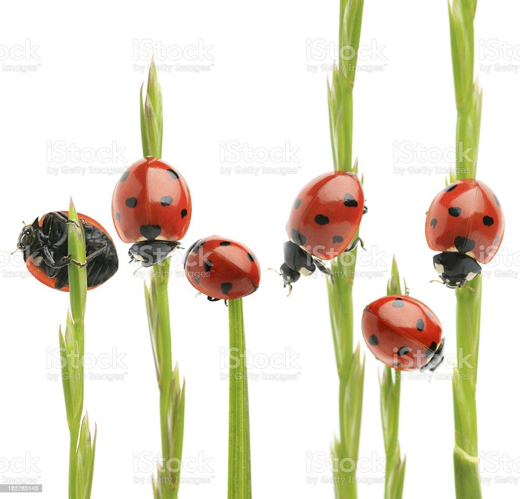 ladybug on grass royalty-free stock photo