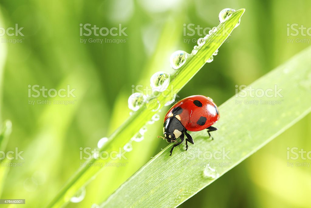 ladybug on grass stock photo