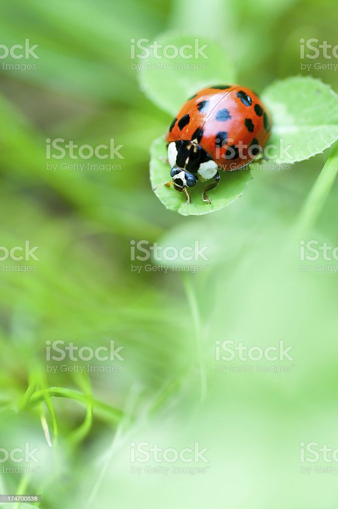 ladybug on green clover royalty-free stock photo