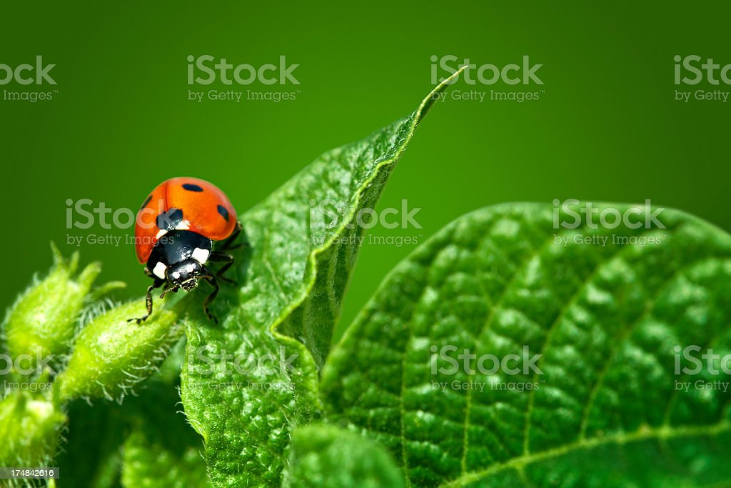 Ladybug on green flower stock photo