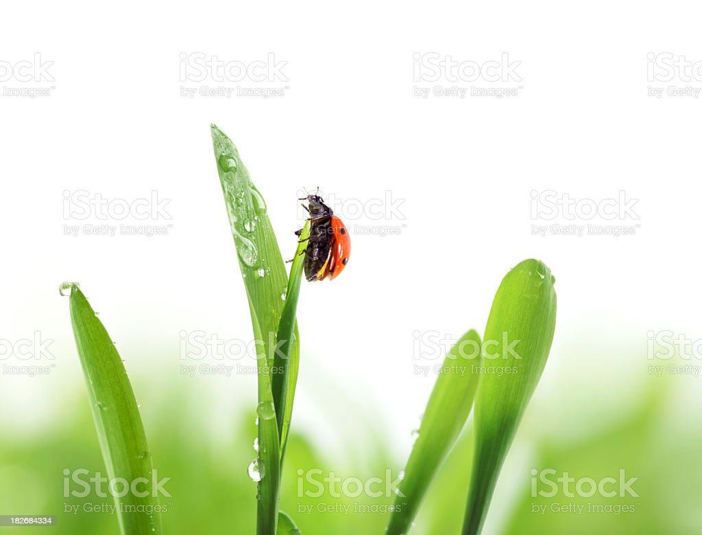 ladybug on green grass royalty-free stock photo