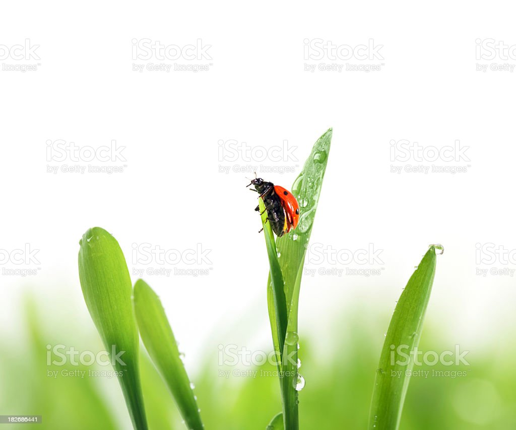 ladybug on green grass royalty-free stock photo