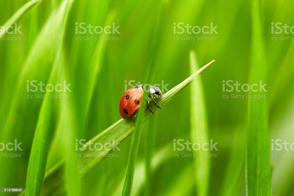 Ladybug on green grass stock photo