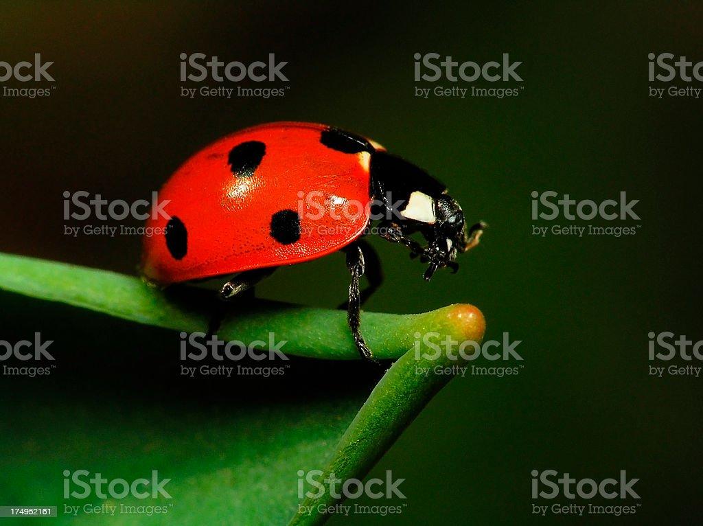 Ladybug on Green Leaf - Close up royalty-free stock photo