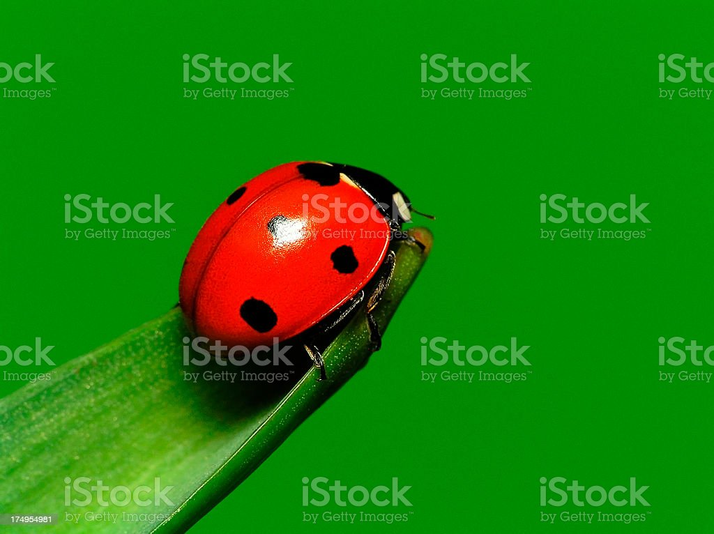 Ladybug on Green Leaf - Close up royalty-free stock photo