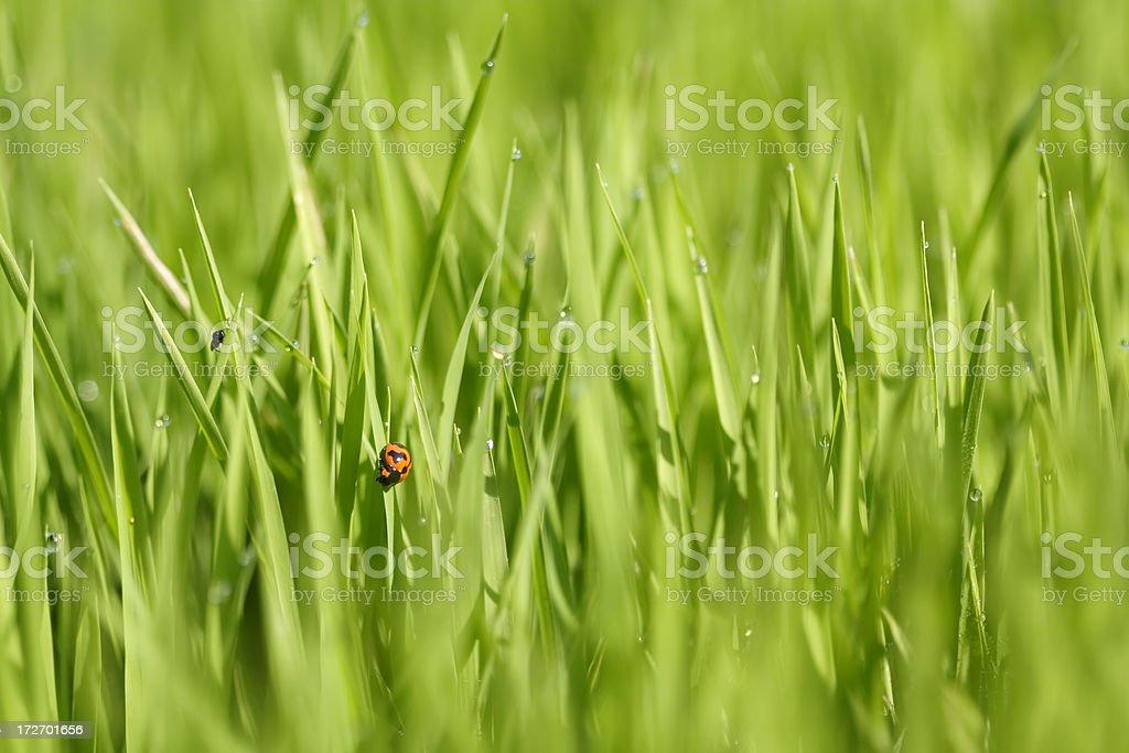 Ladybug on green paddy royalty-free stock photo