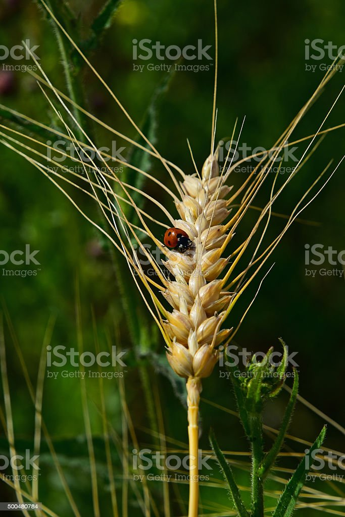 Ladybug on mature wheat ear close up in green background stock photo