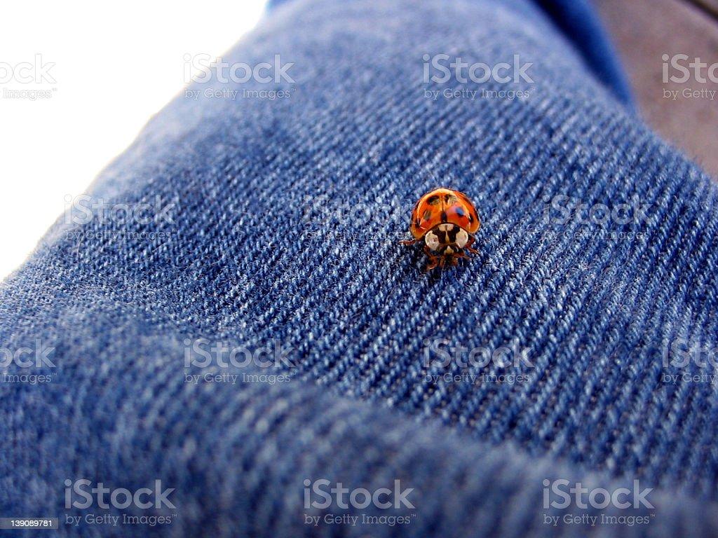 Ladybug on my jeans, macro royalty-free stock photo