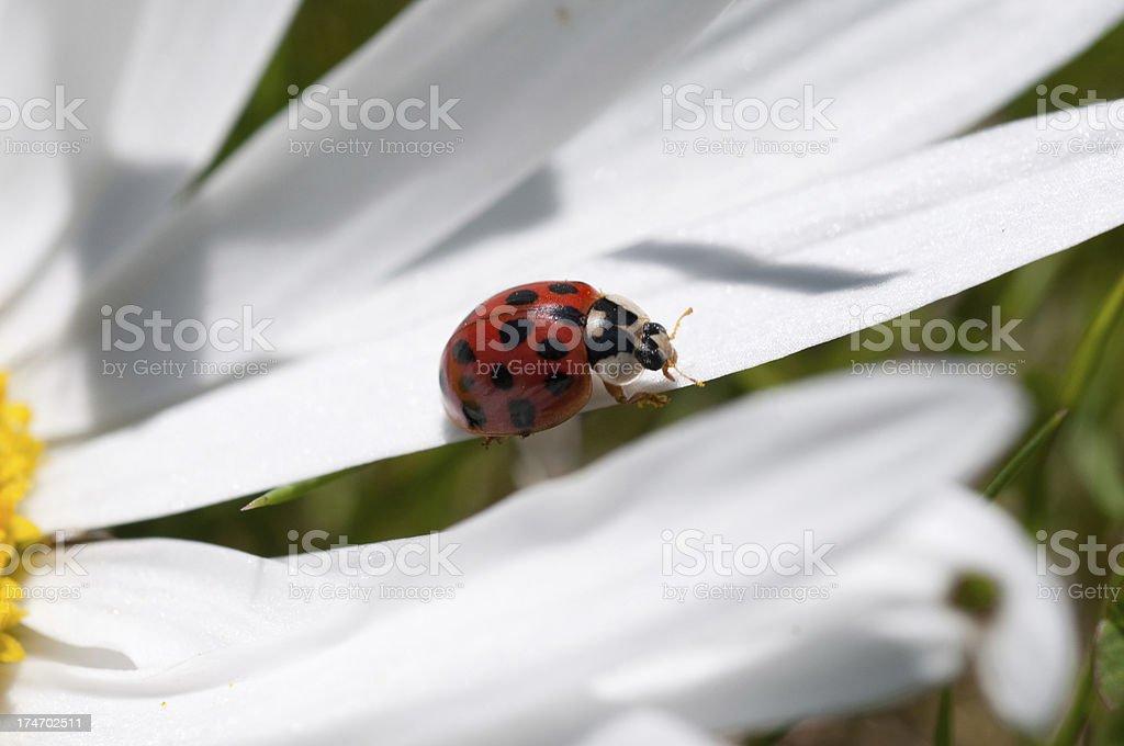 ladybug on petal royalty-free stock photo