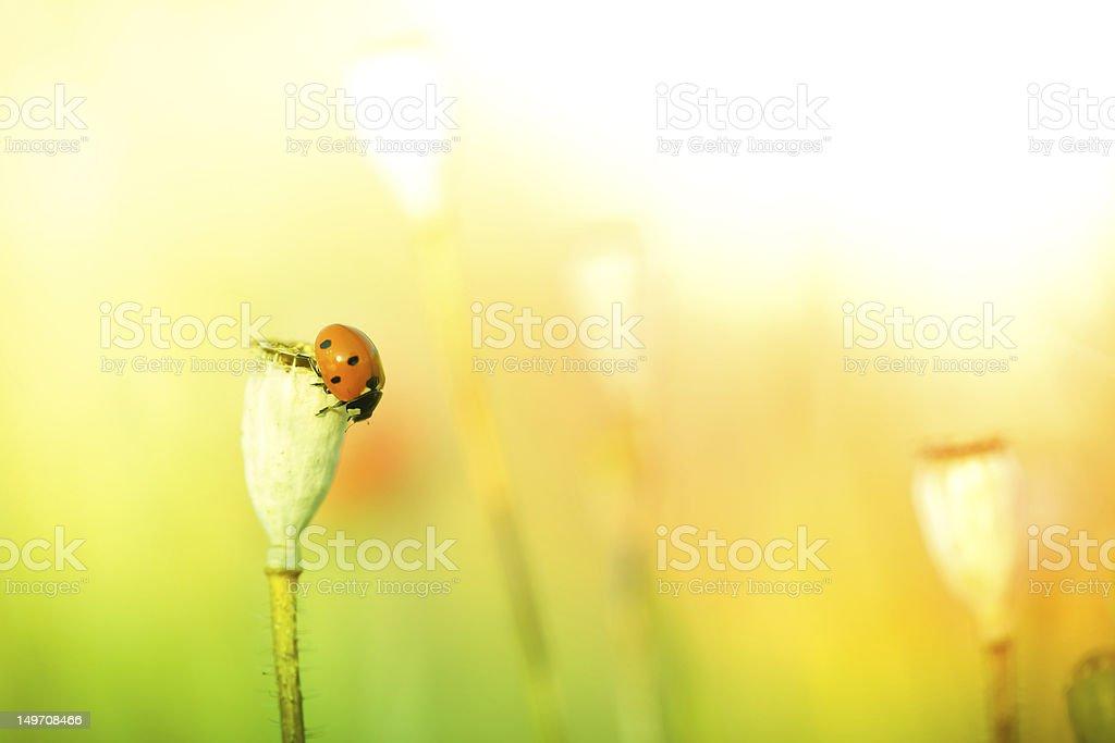 Ladybug on poppy flower in meadow royalty-free stock photo