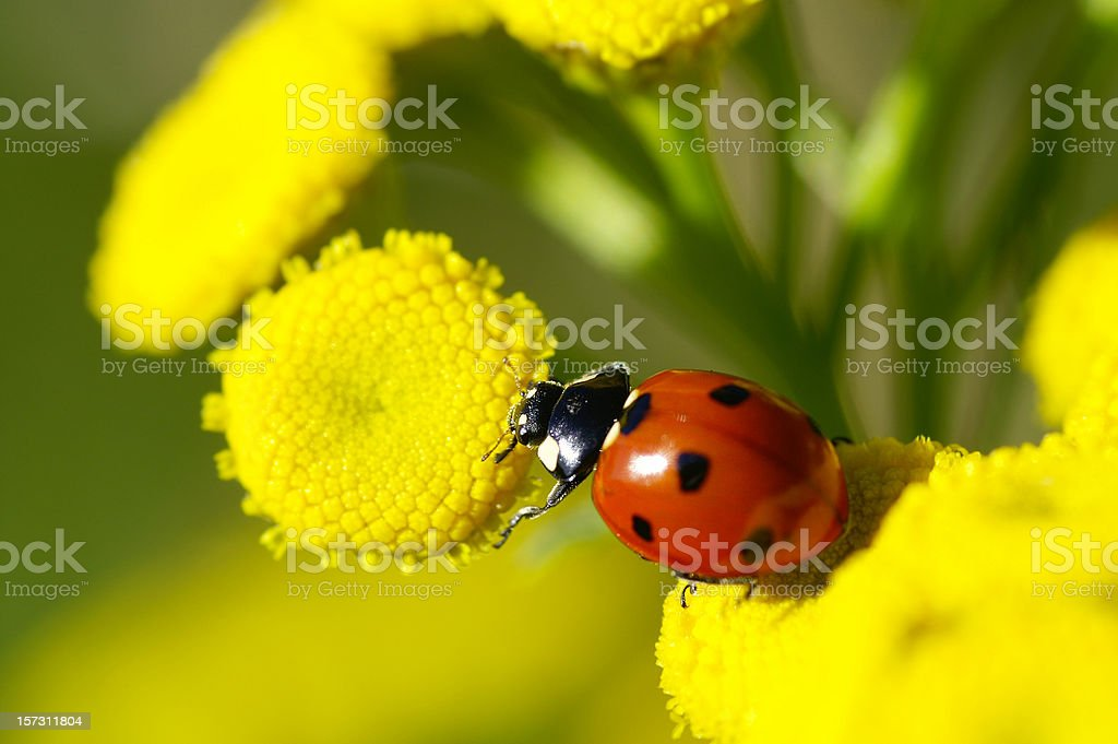 Ladybug on Rainfarn stock photo
