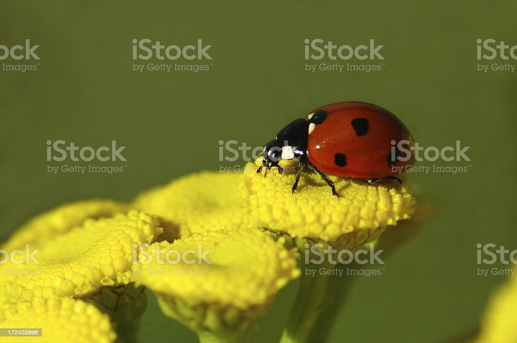 Ladybug on Rainfarn royalty-free stock photo