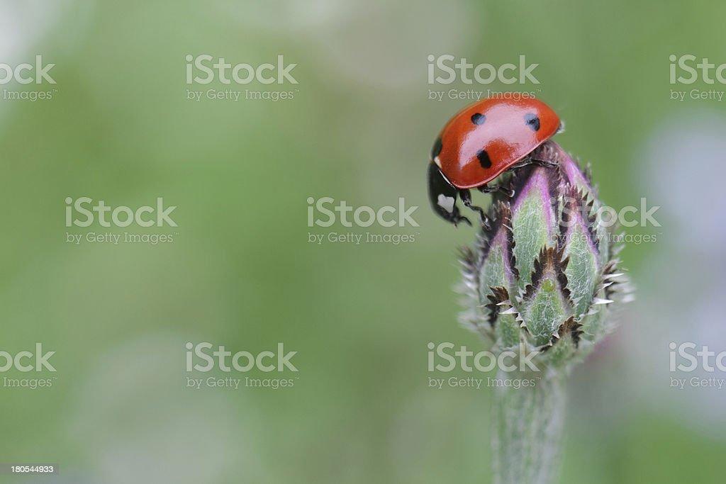 Ladybug on the bloom stock photo