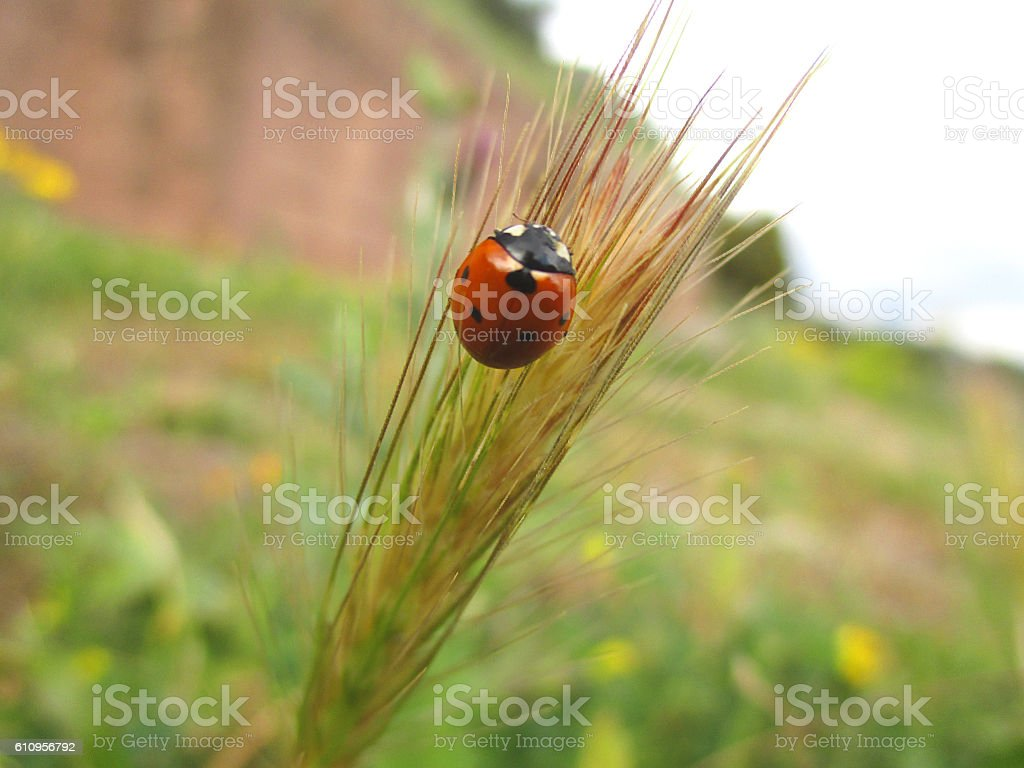Ladybug on the grass stock photo