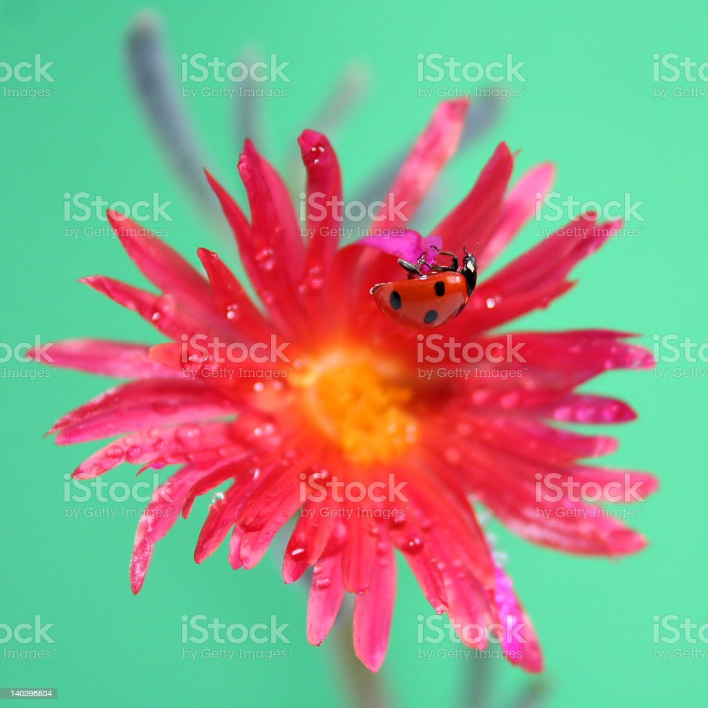 'Ladybug on the red and yellow flower', isolated stock photo