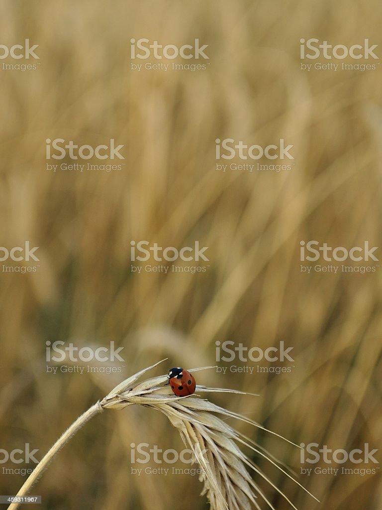 Biedronka na polu pszenicy Skok zbiór zdjęć royalty-free