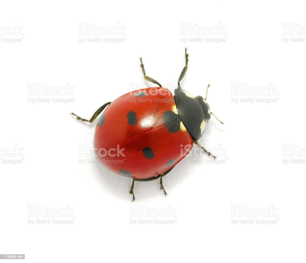 Ladybug on the white stock photo
