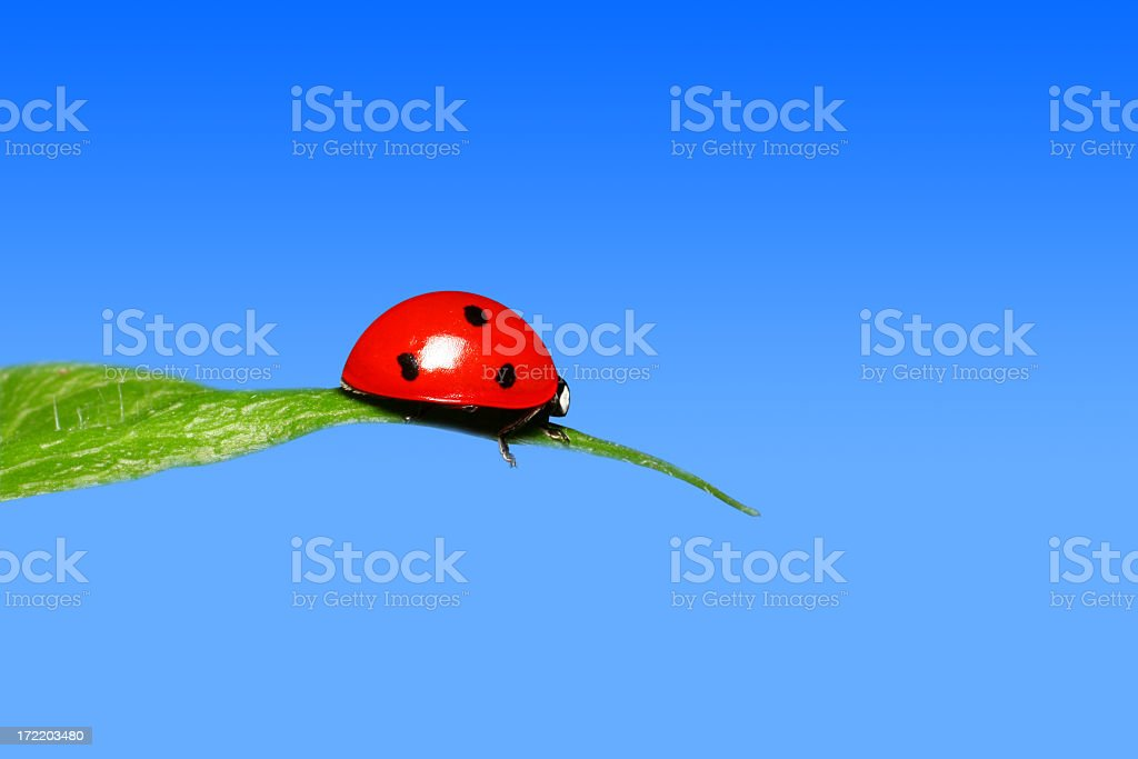 Ladybug on top of a leaf with blue sky on the background stock photo