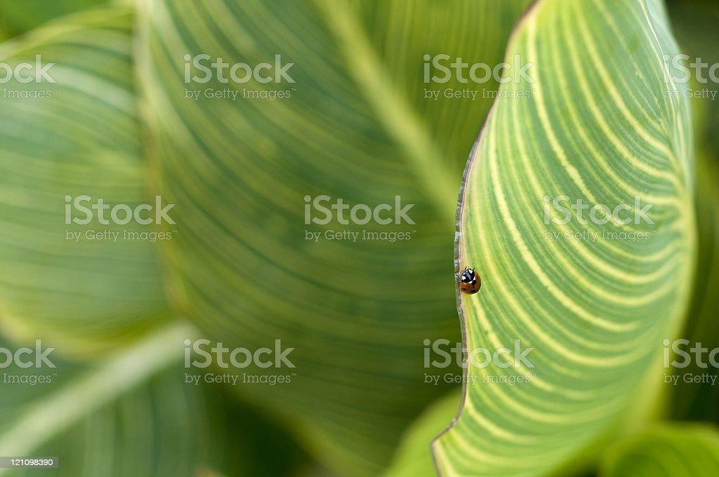 Mariquita de tropicana hoja foto de stock libre de derechos