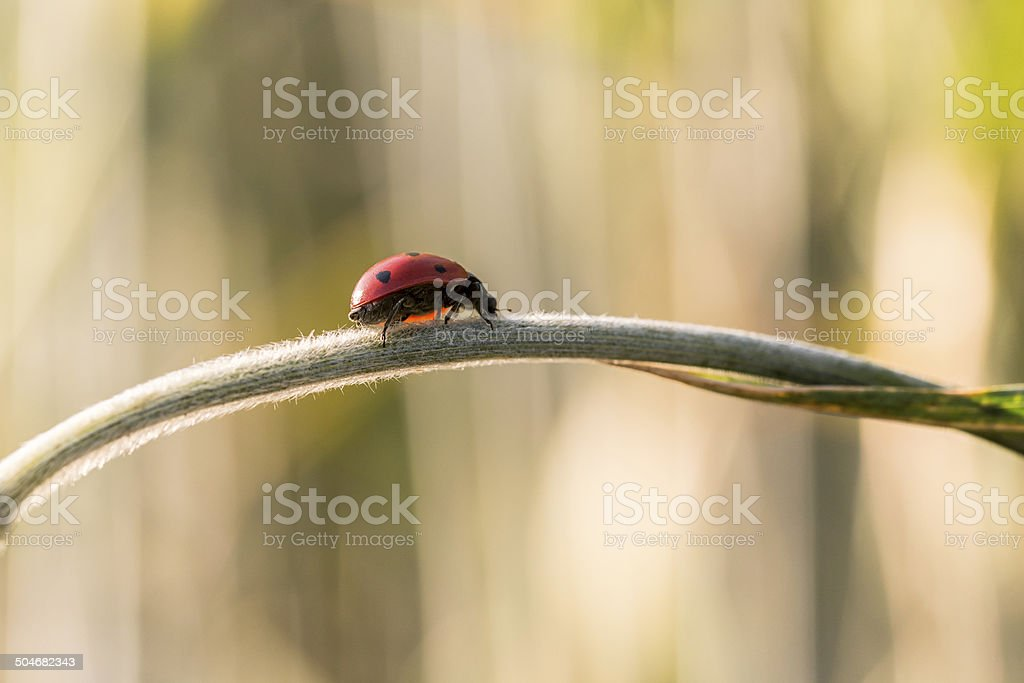 Ladybug on wheat stem stock photo