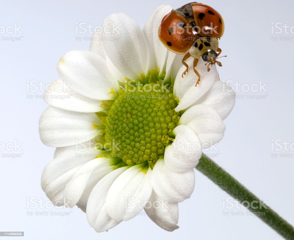 Ladybug on white flower-daisy royalty-free stock photo