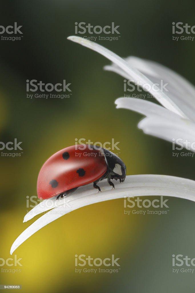ladybug on white petal royalty-free stock photo