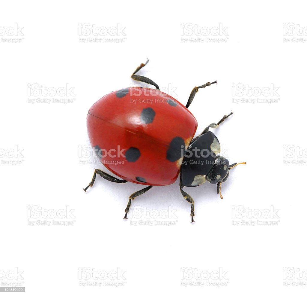 Ladybug on  white stock photo
