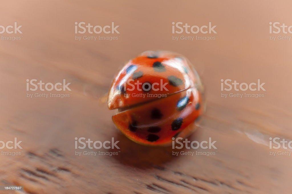 Ladybug on wood royalty-free stock photo