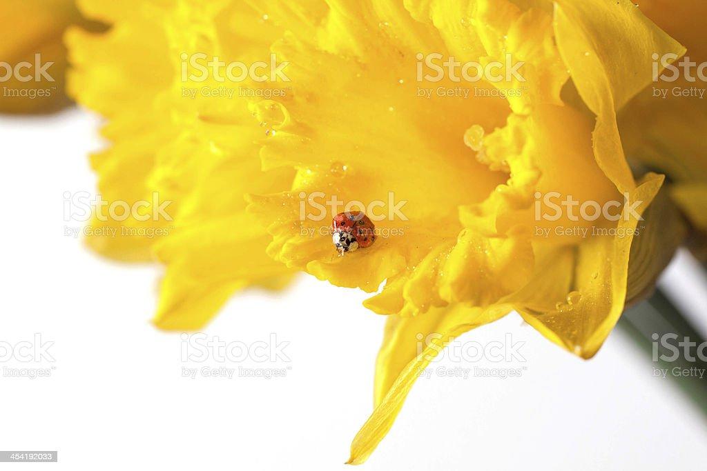 ladybug on yellow daffodils royalty-free stock photo