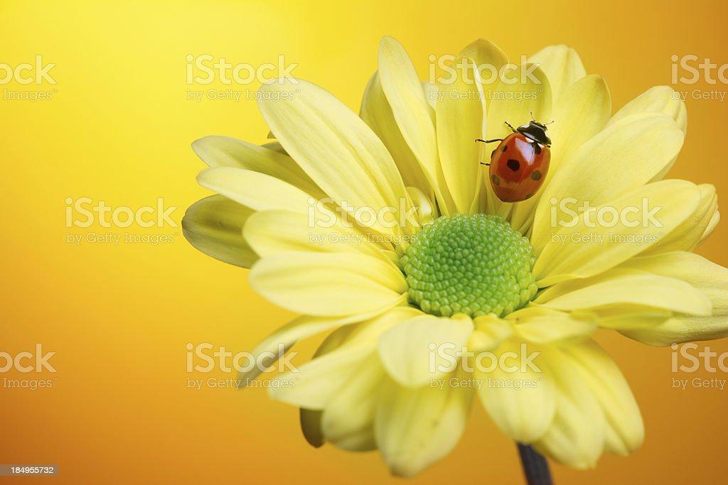 Ladybug on yellow flower royalty-free stock photo