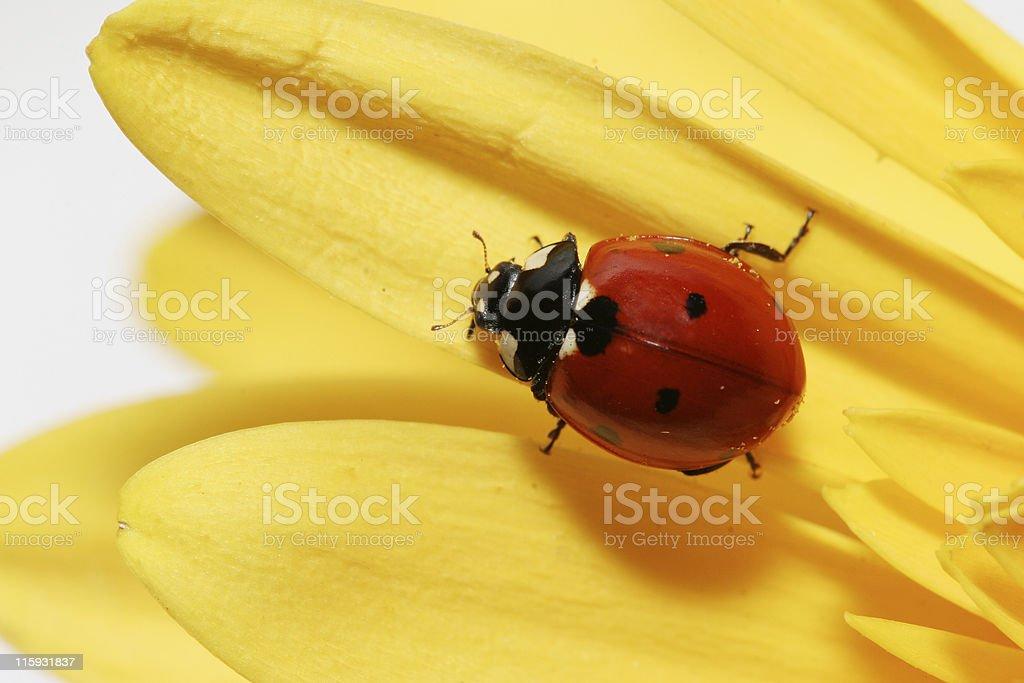Ladybug on yellow gerbera daisy 06 royalty-free stock photo