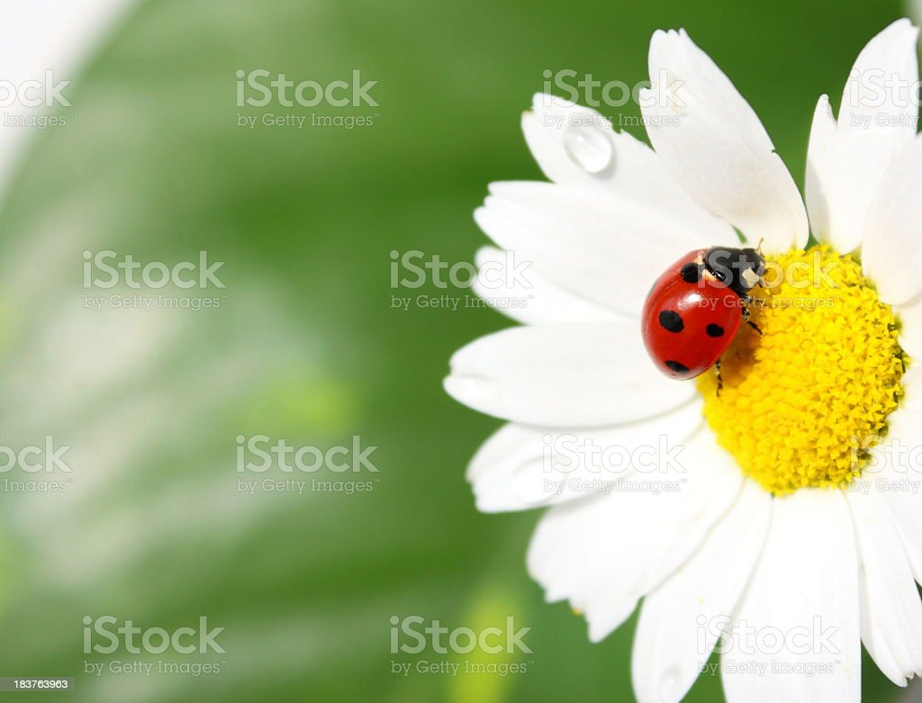 Ladybug perched near pollen on Daisy stock photo