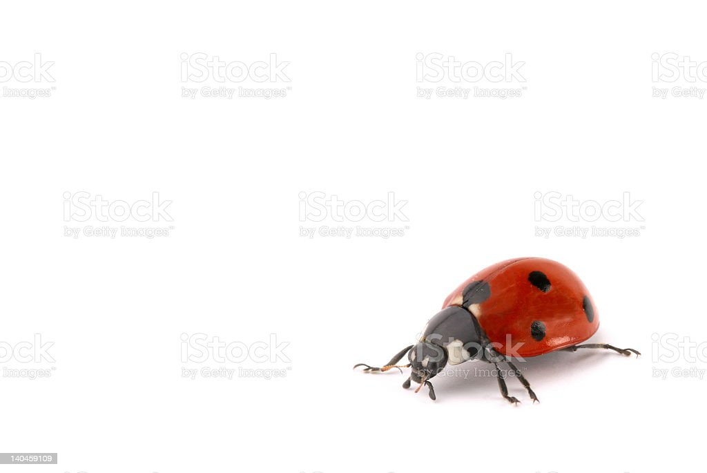 ladybug royalty-free stock photo