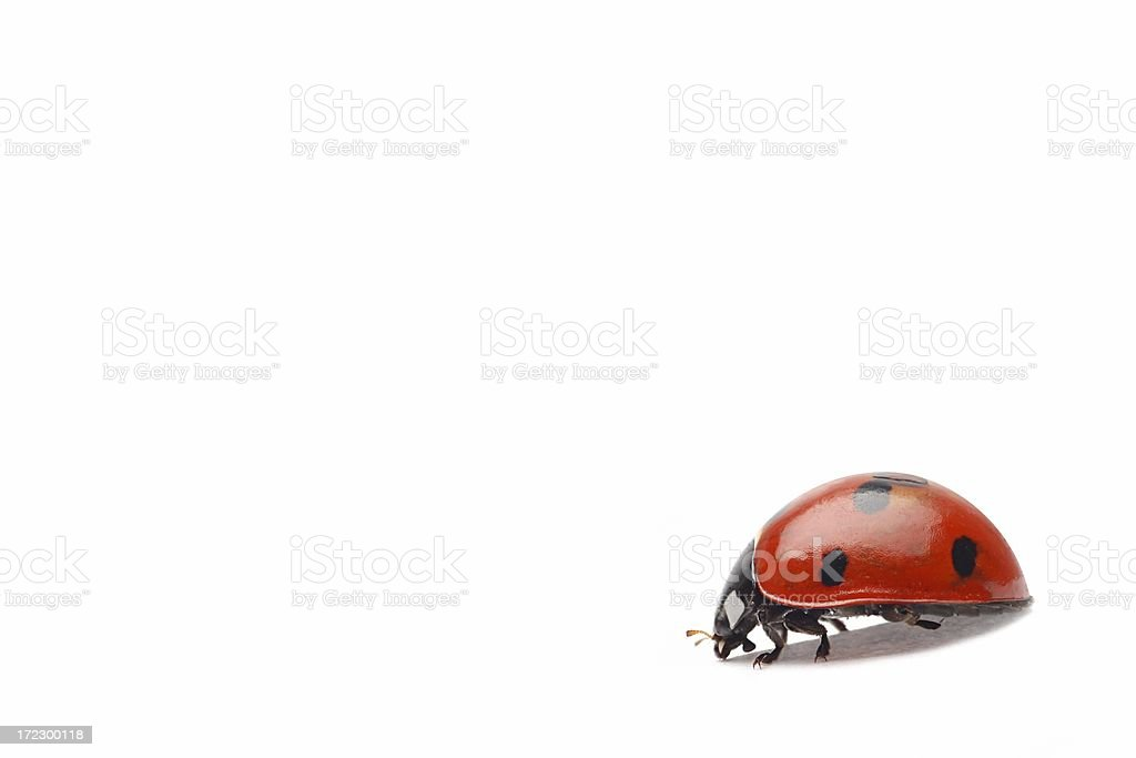 Ladybug (isolated) royalty-free stock photo