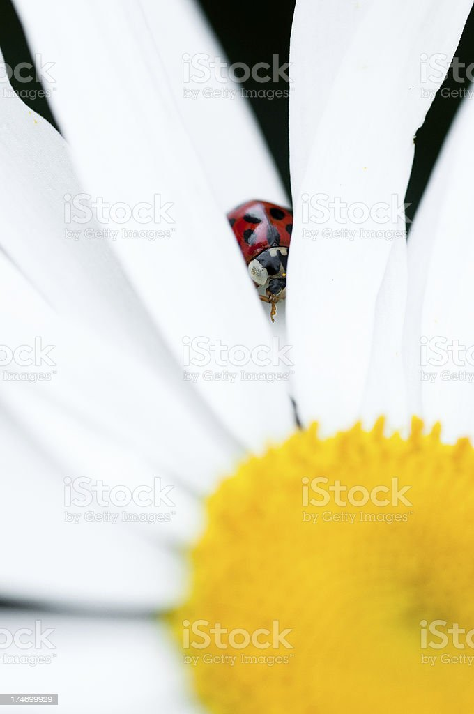 ladybug playing seek and hide royalty-free stock photo