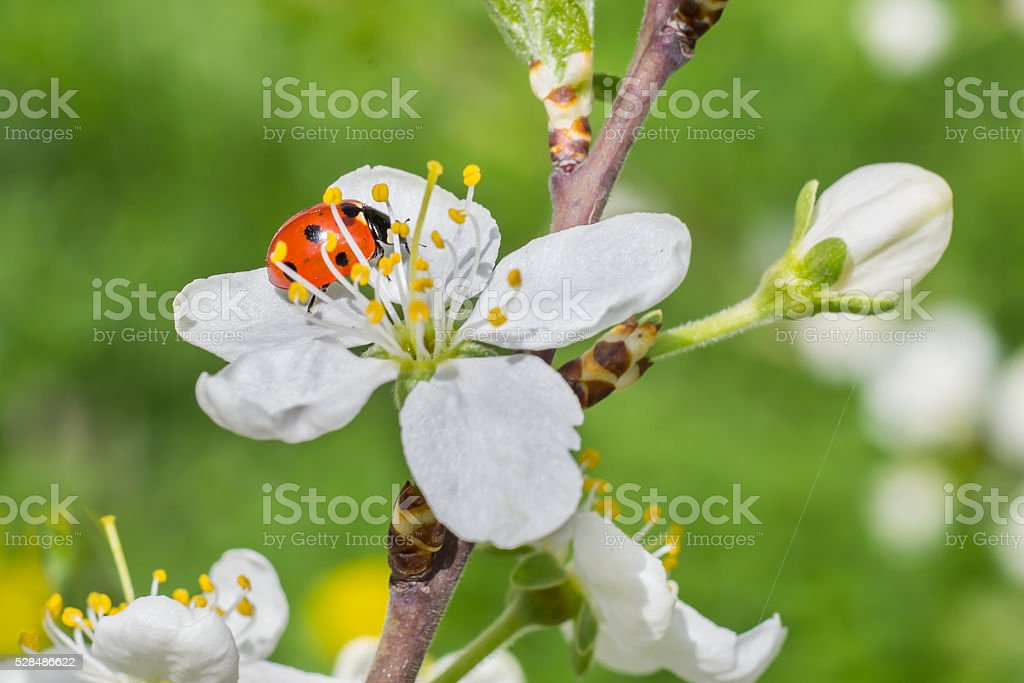 Ladybug sits on a cherry flower stock photo