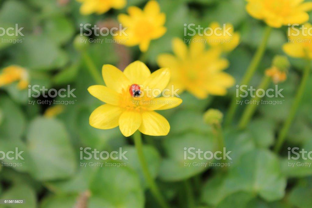 ladybug sitting on a buttercup stock photo