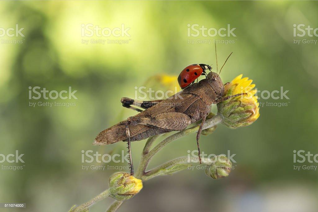 ladybug sitting on a grasshopper on green background stock photo