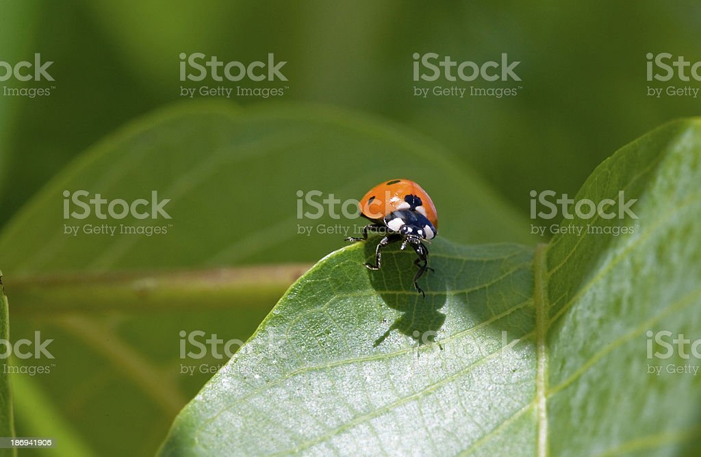 ladybug sitting on a green leaf royalty-free stock photo