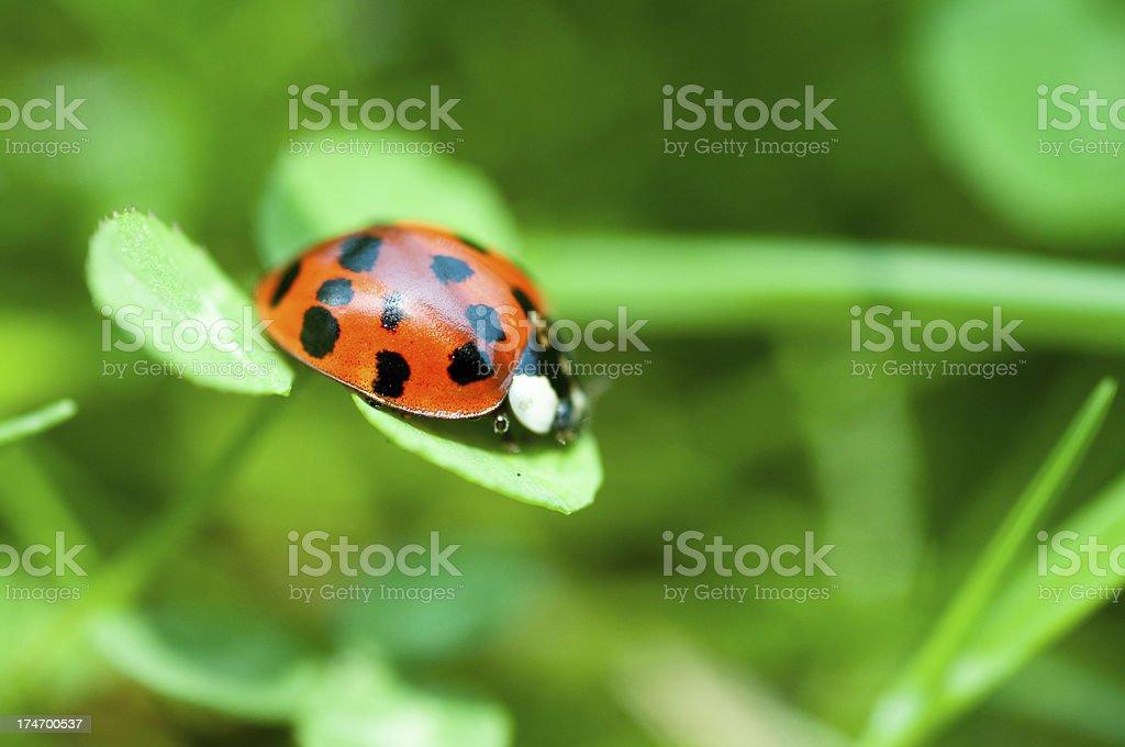 ladybug sitting on clover royalty-free stock photo