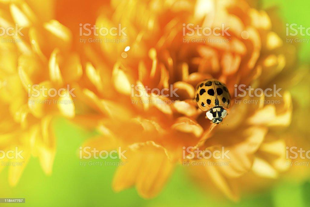 Ladybug sitting on top of orange flower royalty-free stock photo