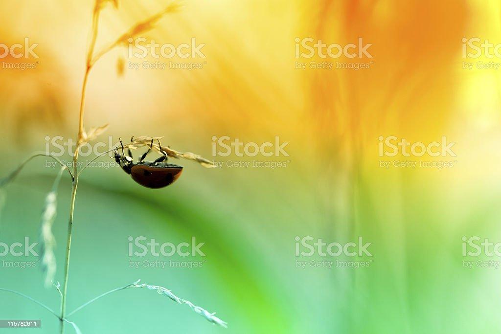 Ladybug sitting on top of wildflower during sunset royalty-free stock photo